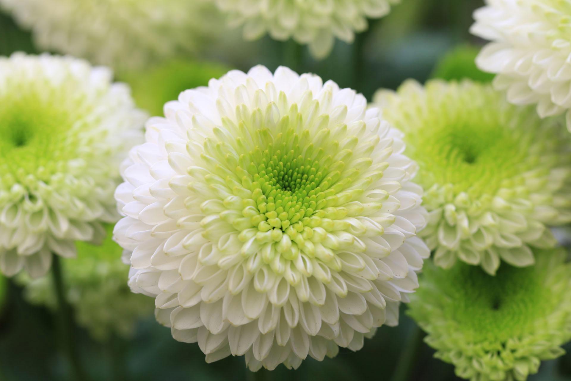 Crisantemi-1
