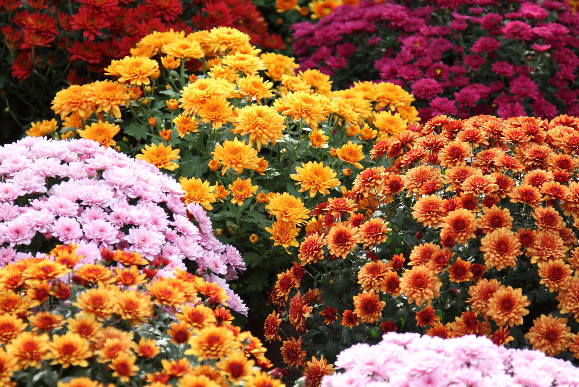 Crisantemi-6