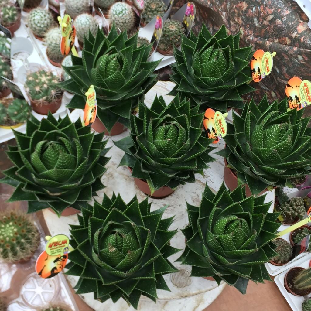 Piante grasse le pi vendute del momento carollo fiori for Annaffiare le piante