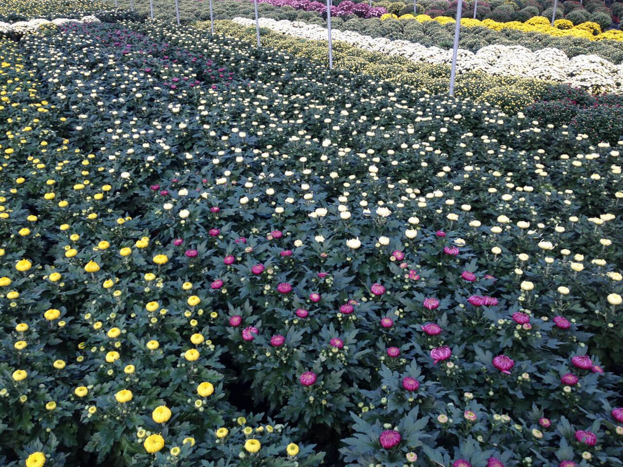 Carollo fiori centrale di zugliano vicenza